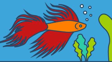 siamesischer Kampffisch: Gezillmert vs. Ungezillmert - langfristige Vorsorge